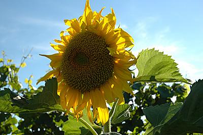 Sonnenblumen im Bio-Weinberg