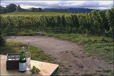 Weinlese im Weingut Zähringer