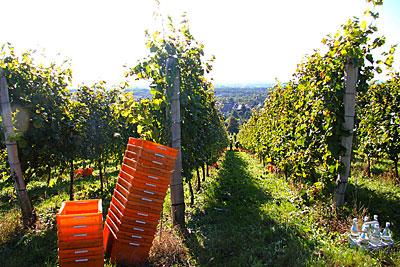Bildimpressionen aus der Weinlese 2012