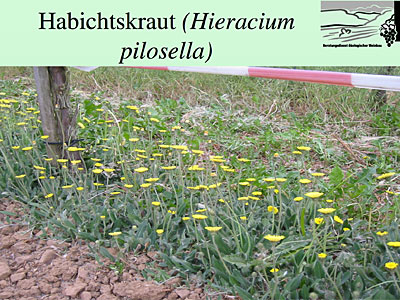Habichtskraut