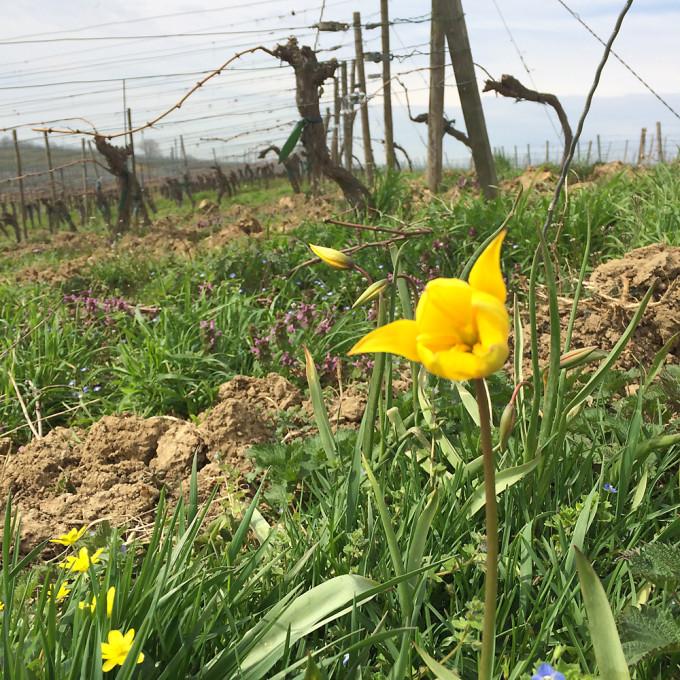 160411_tulip2