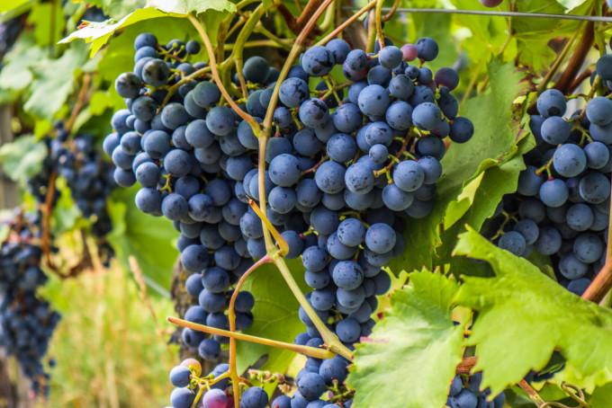 Die Weinlese beginnt in diesem Jahr so früh wie selten.
