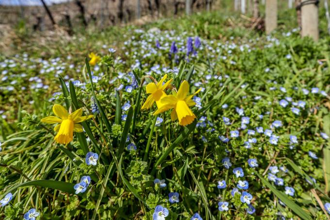Blühende Weinberge